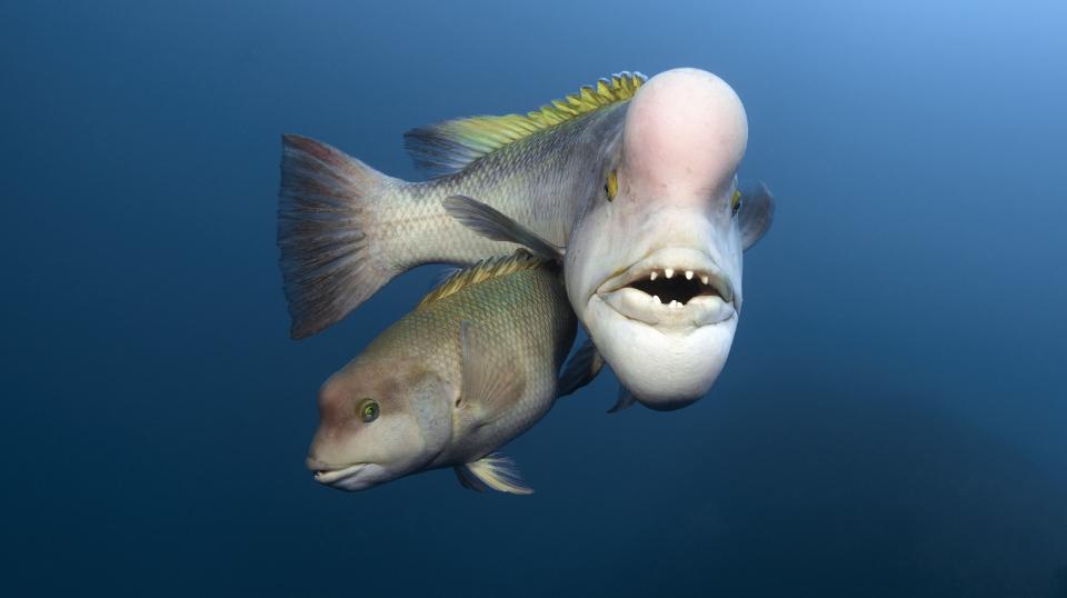 Schafskopf-Lippfische
