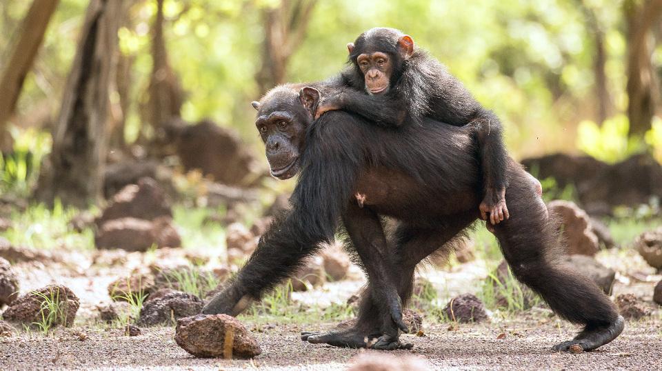 eine Schimpansengruppe im Senegal